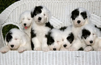 Shagshadow Old English Sheepdogs